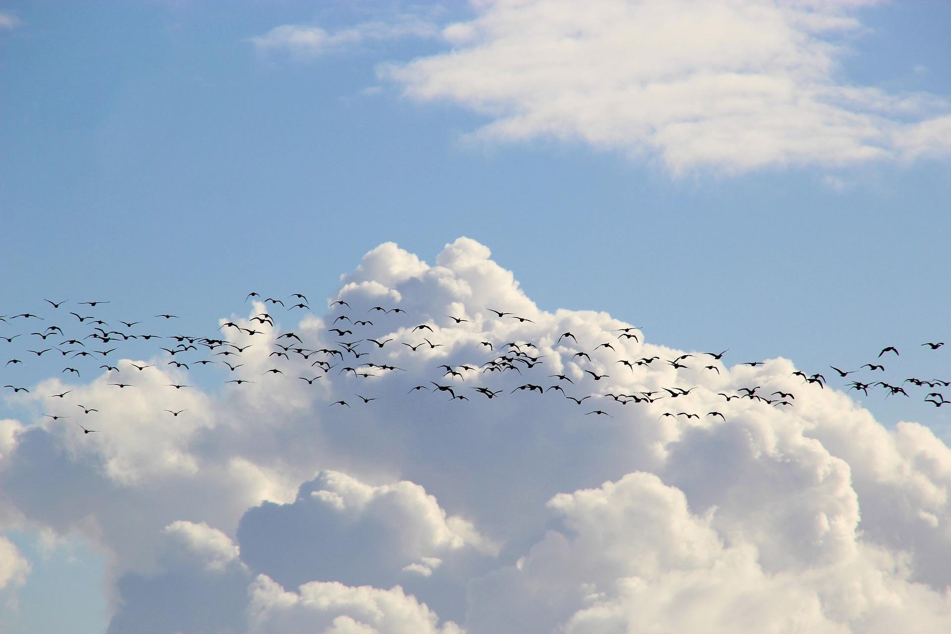 birds migrating