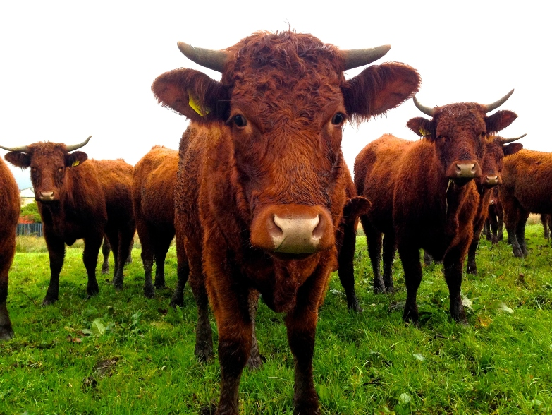 brown-bulls-standing-in-field