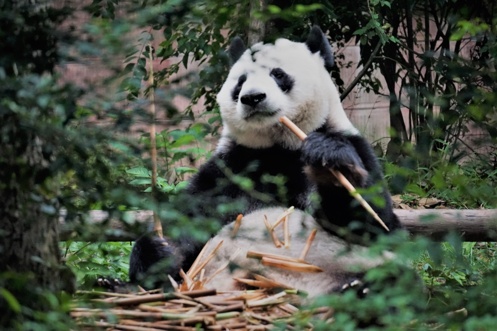 panda-with-pile-of-bamboo-on-stomach
