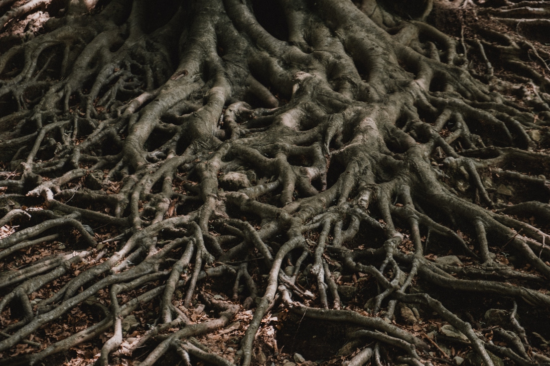 tree-roots-in-forest-shade