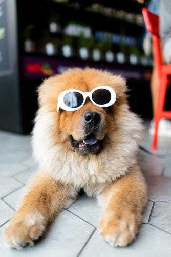 fluffy dog wearing sunglasses