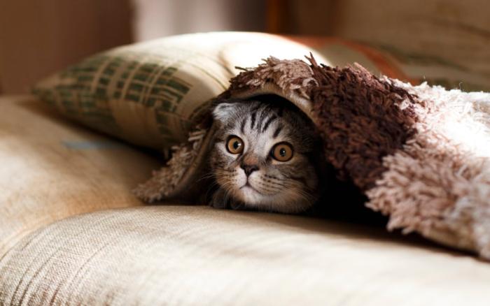 cat under blankets