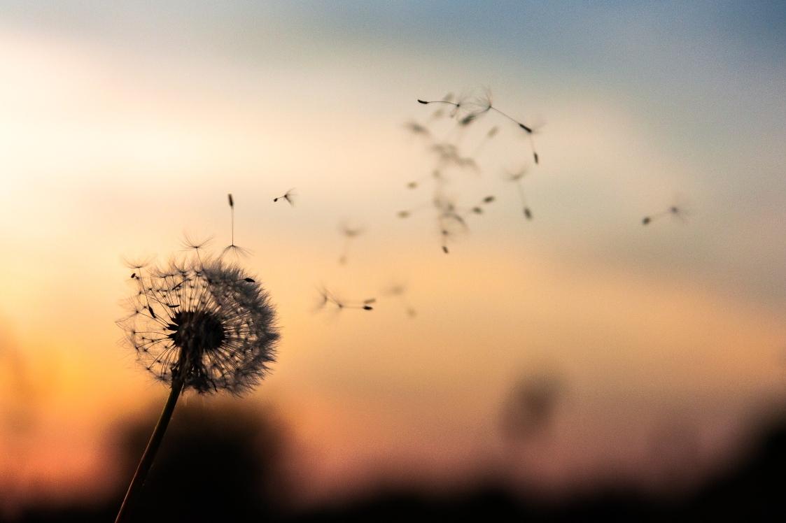 dandelion-blowing-in-wind