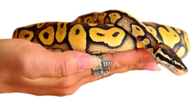 shutterstock_174281696_python